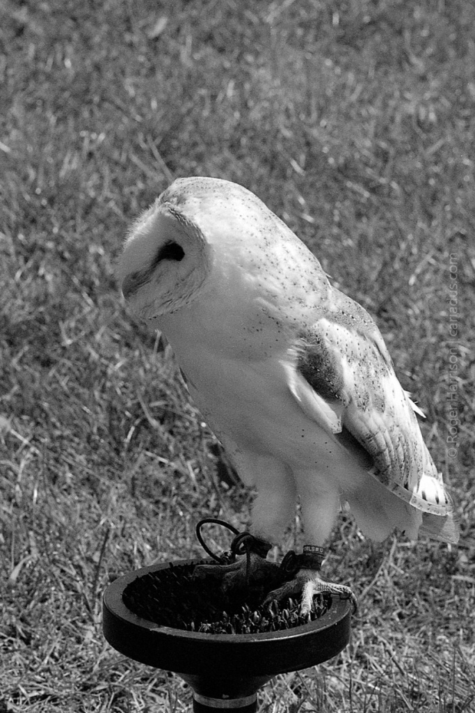 One of the owls on the falconry display G1, 90mm, XP2