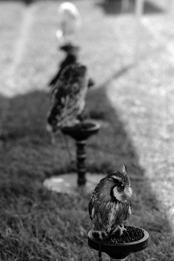 Row of owls G1, 90mm, XP2