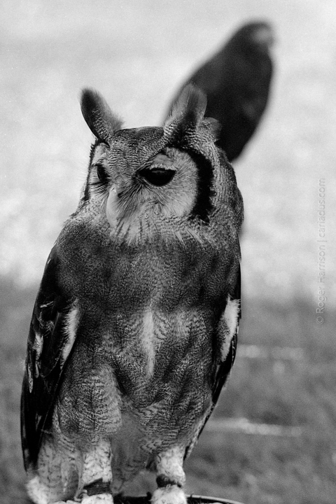 Not sure what type of owl this is but it was big! G1, 90mm, XP2