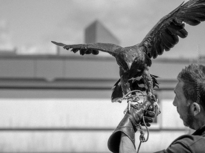 Falcon spreading its wings G1, 90mm, FP4+